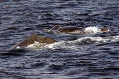 Ballenas de Humpback Fotos de archivo libres de regalías