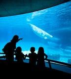 Ballenas de la beluga Foto de archivo libre de regalías