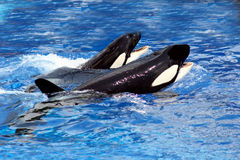 Ballenas de la natación Fotos de archivo libres de regalías