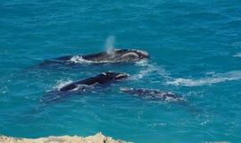 Ballenas derechas meridionales Foto de archivo libre de regalías