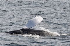 Ballenas jorobadas con la aleta fuera del agua Foto de archivo