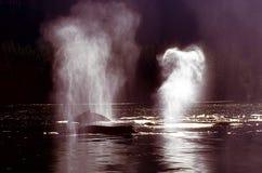 Ballenas jorobadas que echan en chorro (novaeangliae del Megaptera), Alaska, sur Foto de archivo libre de regalías