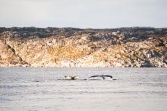 Ballenas jorobadas que se zambullen y que muestran la cola, Groenlandia Fotografía de archivo libre de regalías