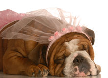 Ballerina bulldog Royalty Free Stock Image