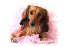 Ballerina dachshund Royalty Free Stock Images