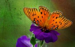Ballerina-Schmetterling, der auf Petunie balanciert Stockbilder