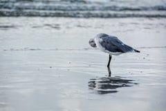 Ballerine timide de mouette reflété en mer image libre de droits