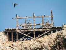 Ballestas fåglar på den Wood ramen Arkivbild