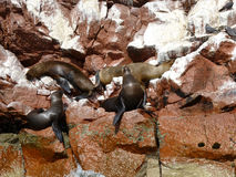 Ballestas Islands in Paracas. Sea lions sunbathing on the Ballestas Islands Royalty Free Stock Photo