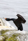 Ballet birds: red-faced cormorant Royalty Free Stock Photography