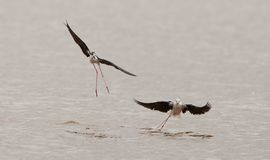 The ballet of the Black-winged Stilt Royalty Free Stock Image