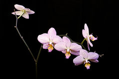 Ballet-dancer. Orchid on the black background Stock Photos