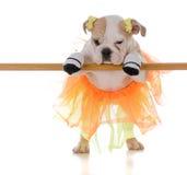 Ballet dancing dog Stock Images