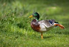 Ballet de pratique et position de canard masculin de canard sur une jambe Photos libres de droits