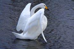 Ballet del cisne Fotos de archivo libres de regalías
