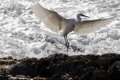 Ballet del pequeño egret Fotografía de archivo libre de regalías