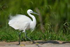 Ballet. Little Egret walking on dam wall Royalty Free Stock Images