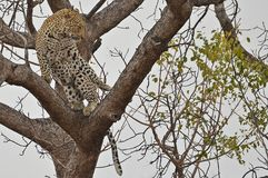 Ballet in a tree (Panthera pardus) Royalty Free Stock Photos