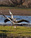 The ballet of the White Storks Stock Image