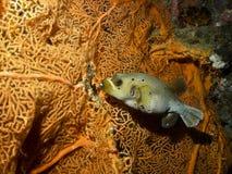 Ballfish和珊瑚在印度尼西亚 图库摄影