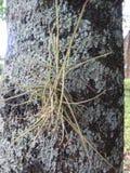 Ballmoss, musgo da bola ou musgo pequeno do grupo - Ballmoss na planta do crapemyrtle imagens de stock