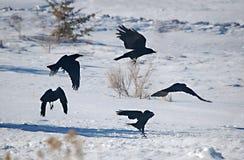 Ballo del corvo Fotografie Stock
