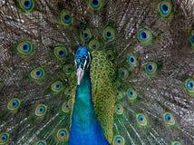 Ballo del pavone Fotografie Stock Libere da Diritti