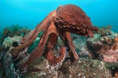 Ballo del polipo gigante Fotografia Stock