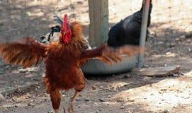 Ballo del pollo Fotografie Stock Libere da Diritti