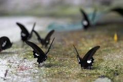 Ballo della farfalla Fotografia Stock