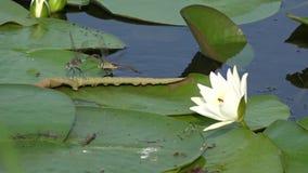 Ballo delle libellule Libellula che circonda nelle vicinanze delle portate più basse del fiume di Dnepr video d archivio