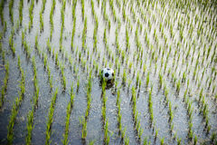 Ballon de football sur un gisement de riz Photos libres de droits