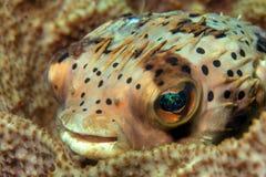 Ballonfish Royalty Free Stock Image