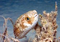 ballongfisk Royaltyfria Bilder
