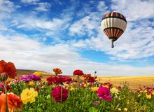 Balloon flies over the field. South of Israel. Farmer field of flowering red and yellow ranunculus. Light clouds in the blue sky. Early spring in Israel. Balloon stock images