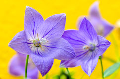 Balloon Flower Stock Photography