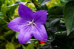 Balloon Flower royalty free stock image
