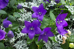 Balloon  flower  Platycodon grandiflorus Royalty Free Stock Photos