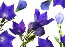 Balloon Flowers. Purple balloon flowers and buds isolated on white Stock Image