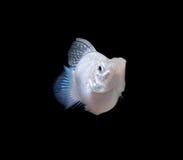 Balloon Silver Molly fish Stock Photography