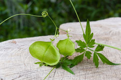 Balloon vine, Balloonvine, Heart seed  or Heart pea on wooden background Stock Images