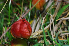 Balloon vine; Balloonvine; Heart seed Royalty Free Stock Image