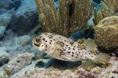 Balloonfish стоковая фотография rf