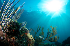 Balloonfish Royalty Free Stock Image