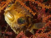 Balloonfish Στοκ Φωτογραφίες