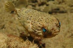 Balloonfish Stockfotos