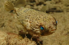 Balloonfish. Diodon Holocanthus,picture taken in south east Florida Stock Photos