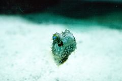 Balloonfish Diodon holocanthus swims along a marine reef stock photos