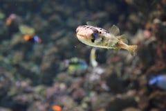 Balloonfish Stock Image