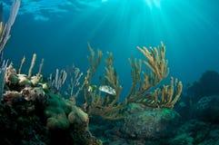 Balloonfish in Sea Rod Stock Photography